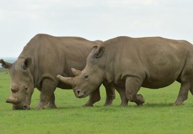 An Extinction: The White Rhino
